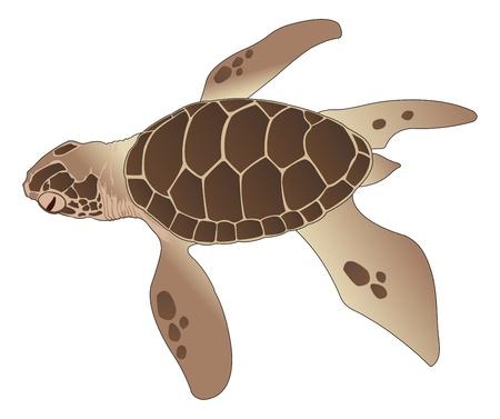 kahverengi: Sea Turtle, Kahverengi, vektör çizim Çizim