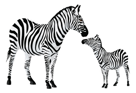 Zebra or Equus zebra, vector illustration Vector