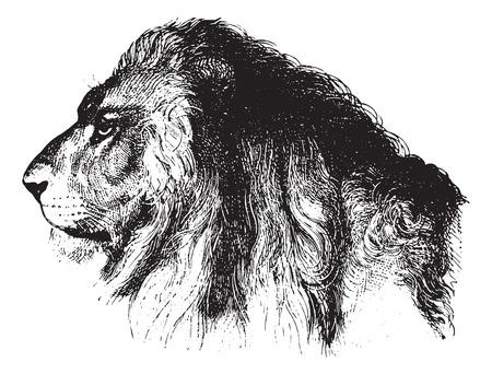 engraved: Lions face, vintage engraved illustration. Animaux Sauvages et Domestiques - For kids - 1892. Illustration