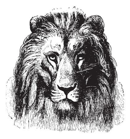 lion dessin: Gros plan sur le visage d'un Lion, illustration vintage gravé. Animaux Sauvages ET Domestiques - Pour les enfants - 1892.