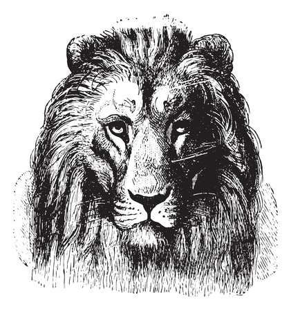 Close up of a Lions face, vintage engraved illustration. Animaux Sauvages et Domestiques - For kids - 1892. Illustration