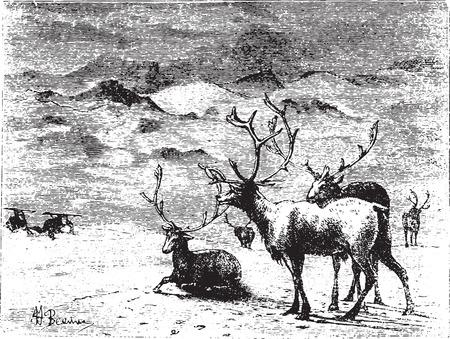 Reindeers, vintage engraved illustration. Animaux Sauvages et Domestiques - For kids - 1892. Stock Illustratie