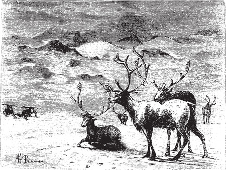 Reindeers, vintage engraved illustration. Animaux Sauvages et Domestiques - For kids - 1892. Vectores