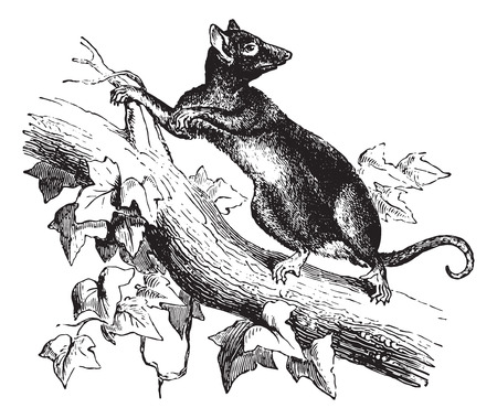 opossum: Opossum or Possum on tree branch, vintage engraved illustration. Animaux Sauvages et Domestiques - For kids - 1892. Illustration