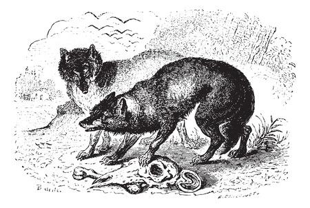 hienas: Dos hienas, cosecha ilustración grabada. Animaux Sauvages et domestiques - Para niños - 1892.