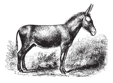 herbivorous animals: Donkey on field, vintage engraved illustration. Animaux Sauvages et Domestiques - For kids - 1892. Illustration