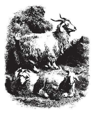 뿔 염소, 빈티지 새겨진 그림. Animaux Sauvages et Domestiques - 어린 이용 - 1892.
