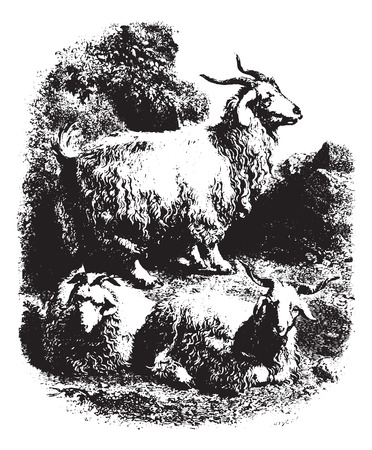 Goats with horns, vintage engraved illustration. Animaux Sauvages et Domestiques - For kids - 1892.