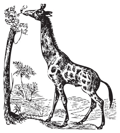 An illustration of a wild African Giraffe eating off the top branches of a tree. Old black and white engraving. From Trousset encyclopedia 1886-1891 Ilustração