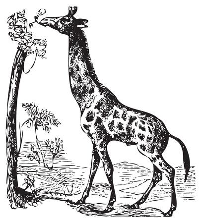 giraffa: Una ilustraci�n de una jirafa africana salvaje comiendo fuera de las ramas superiores de un �rbol. Grabado antiguo blanco y negro. Desde Trousset enciclopedia 1886-1891 Vectores