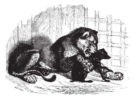 panthera: Leonessa con cub, vintage illustrazione inciso. Animaux sauvages et Domestiques - Per i bambini - 1892.