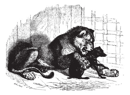 panthera: Lioness with cub, vintage engraved illustration. Animaux Sauvages et Domestiques - For kids - 1892.