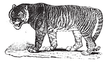 'wildlife reserve': Close up of a Tiger, vintage engraved illustration. Animaux Sauvages et Domestiques - For kids - 1892.