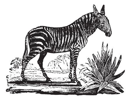 Zebra, vintage engraved illustration. Animaux Sauvages et Domestiques - For kids - 1892.