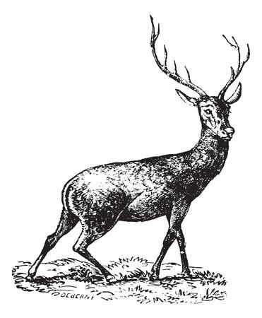deer antlers: Horned Deer, vintage engraved illustration. Animaux Sauvages et Domestiques - For kids - 1892.