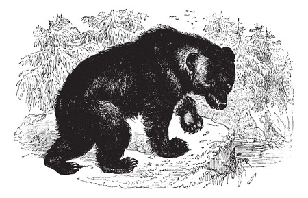 Aggressive Bear in forest, vintage engraved illustration. Animaux Sauvages et Domestiques - For kids - 1892. Vector
