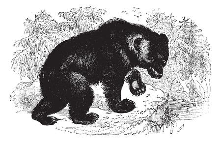 oso negro: Oso agresivo en el bosque, cosecha ilustración grabada. Animaux Sauvages et domestiques - Para niños - 1892.