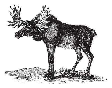 엘크 또는 Wapti, 빈티지 새겨진 된 그림. Animaux Sauvages et Domestiques - 어린 이용 - 1892.