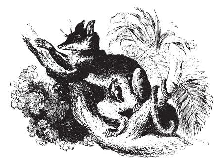 possum: Opossum or Possum on tree branch, vintage engraved illustration. Animaux Sauvages et Domestiques - For kids - 1892. Illustration
