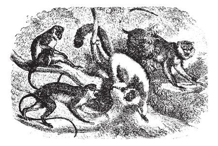 illustration: Monkeys on tree branch in forest, vintage engraved illustration. Animaux Sauvages et Domestiques - For kids - 1892. Illustration