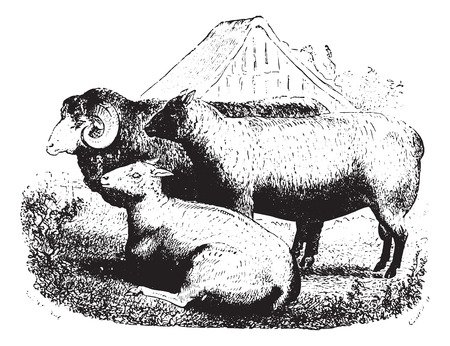 ruminant: Three sheep on field, vintage engraved illustration. Animaux Sauvages et Domestiques - For kids - 1892. Illustration