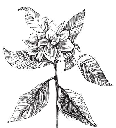 gardenia: A common gardenia engraving illustration, in black and white, from Trousset encyclopedia 1886 - 1891.