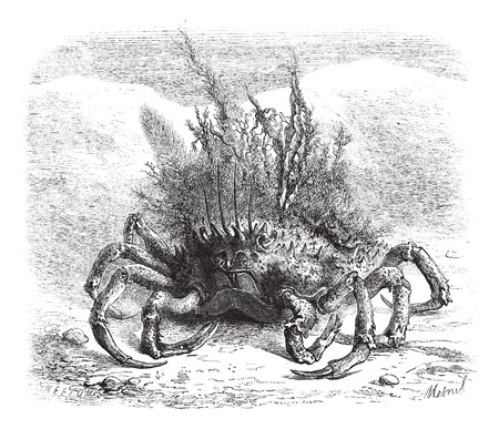 The Maia: female spider crab, covered with moss and seaweed; quarter of the size, vintage engraved illustration. Magasin Pittoresque 1875. Vector