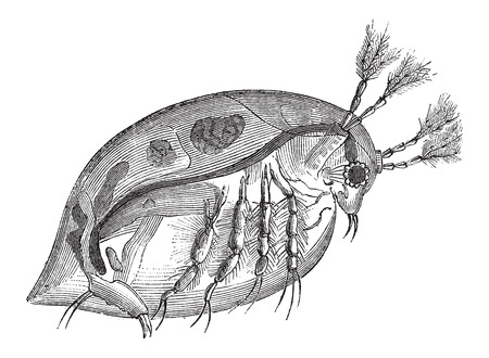arthropoda: Water Flea or Daphnia sp., vintage engraved illustration. Le Magasin Pittoresque - Larive and Fleury - 1874 Illustration