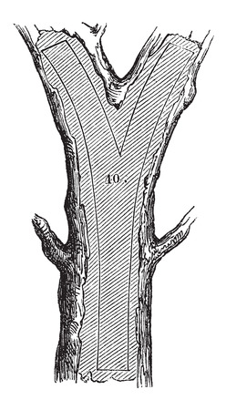sawing: How a Tree is Made into Lumber - Fork section, vintage engraved illustration. Le Magasin Pittoresque - Larive and Fleury - 1874 Illustration