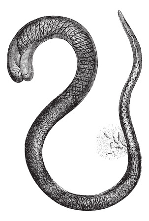 phylum: Fig. 2. Trichinella adult female, magnified 150 times, vintage engraved illustration. Magasin Pittoresque 1875.