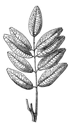 herbology: Jaborandi or Pilocarpus sp., showing leaves, vintage engraved illustration. Usual Medicine Dictionary by Dr Labarthe - 1885