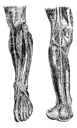 dr: Human Leg, showing deep anterior region (left), and deep posterior region (right), vintage engraved illustration. Usual Medicine Dictionary by Dr Labarthe - 1885
