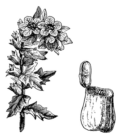 stinking: Black Henbane or Hyoscyamus niger, showing flowers and seed pod, vintage engraved illustration. Usual Medicine Dictionary by Dr Labarthe - 1885 Illustration