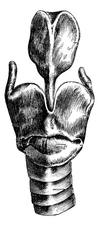 laringe: Vista anterior de la laringe mostrando lar�ngeos cart�lagos, cosecha ilustraci�n grabada. Diccionario Usual Medicina por el Dr. Labarthe - 1885