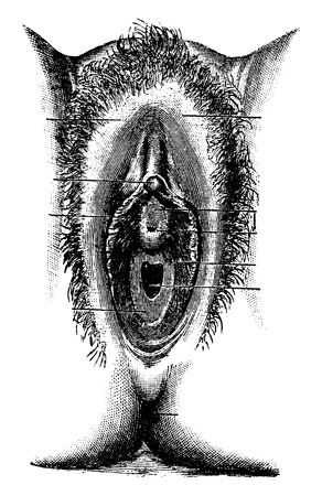 Human Vulva, vintage engraved illustration. Usual Medicine Dictionary by Dr Labarthe - 1885