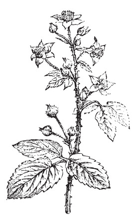 bramble: Bramble or Blackberry, vintage engraved illustration. Usual Medicine Dictionary by Dr Labarthe - 1885.