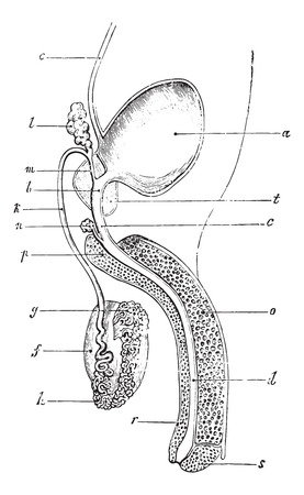 suspensory: Genital and urinary tract of man, vintage engraved illustration. Usual Medicine Dictionary by Dr Labarthe - 1885.