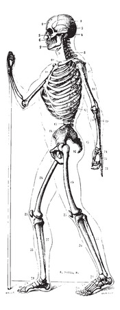 dr: Skeleton, profile, vintage engraved illustration. Usual Medicine Dictionary by Dr Labarthe - 1885.