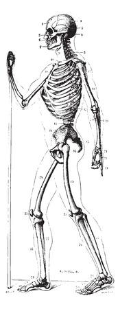 vintage anatomy: Skeleton, profile, vintage engraved illustration. Usual Medicine Dictionary by Dr Labarthe - 1885.