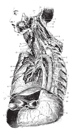 plexus: Sympathetic chain and the left vagus nerve, vintage engraved illustration. Usual Medicine Dictionary by Dr Labarthe - 1885.
