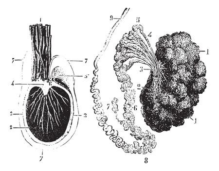 testiculos: Corte transversal de los testículos, el epidídimo y túnica vaginal, cosecha ilustración grabada. Diccionario Usual Medicina por el Dr. Labarthe - 1885. Vectores