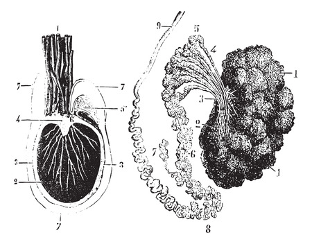 Cross section of the testis, epididymis and tunica vaginalis, vintage engraved illustration. Usual Medicine Dictionary by Dr Labarthe - 1885. Ilustração