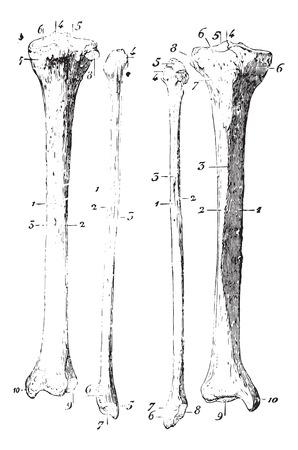 usual: Skeleton of the leg, vintage engraved illustration. Usual Medicine Dictionary by Dr Labarthe - 1885.