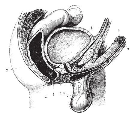 genitali: Antero-posteriore tagliando i genitali dell'uomo, vintage illustrazione inciso. Solita dizionario Medicine dal dottor Labarthe - 1885.