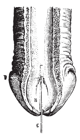 Section of the anterior part of the urethra, showing its upper wall, vintage engraved illustration. Usual Medicine Dictionary by Dr Labarthe - 1885. Stock fotó - 35097606