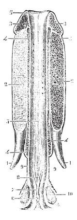 uretra: Canal de la uretra abierta en la parte superior y la propagaci�n, cosecha ilustraci�n grabada. Diccionario Usual Medicina por el Dr. Labarthe - 1885. Vectores