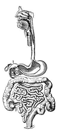 sistema digestivo humano: Sistema digestivo humano, cosecha ilustraci�n grabada. Diccionario Usual Medicina por el Dr. Labarthe - 1885