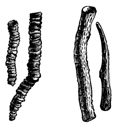 Ipecacuanha or Carapichea ipecacuanha, showing ringed and striated roots, vintage engraved illustration. Usual Medicine Dictionary by Dr Labarthe - 1885