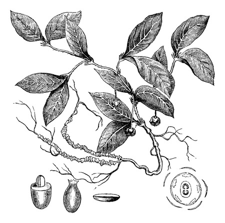 herbology: Ipecacuanha or Carapichea ipecacuanha, showing flowers and roots, vintage engraved illustration. Usual Medicine Dictionary by Dr Labarthe - 1885
