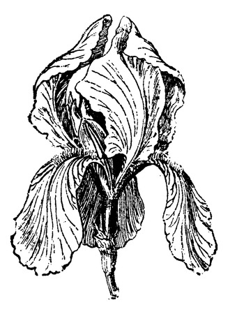 dr: White Iris or Iris albicans, showing flower, vintage engraved illustration. Usual Medicine Dictionary by Dr Labarthe - 1885